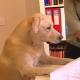 Con su olfato, perro detecta cáncer de pulmón