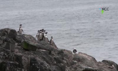 Minería versus pingüinos, la batalla que divide en Chile