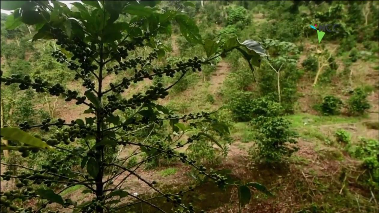 Costa Rica: Cambio climático amenaza áreas de cultivo de café en Latinoamérica