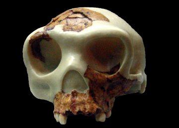 Reconstrucción del cráneo de Homo antecessor