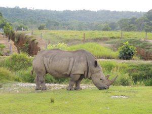 Rinoceronte Blanco del Parque Temático Hacienda Nápoles, Colombia
