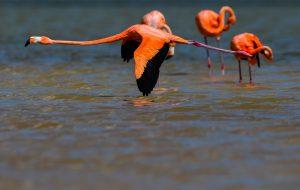 Flamingos rosados en Rio Lagartos
