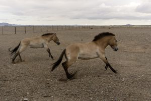 Caballos Przewalski de Mongolia