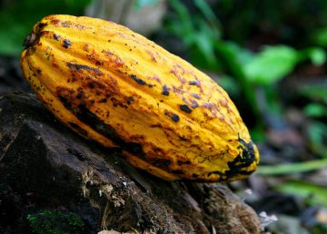 COSTA RICA CONFERENCIA SOBRE EL CACAO