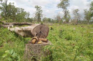 CAMBOYA- DEFORESTACION