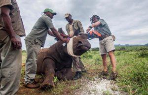 Descornar a los rinocerontes africanos para salvarlos de los furtivos