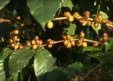 Mujeres aportan diferencia a cultivo de café