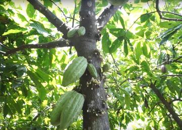 Cacao, esperanza de vida