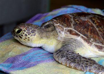 Una tortuga marina tiene 22 % de probabilidad de morir si ingiere un plástico