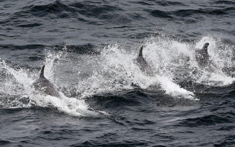 Los delfines entienden el papel de sus compañeros en tareas de cooperación