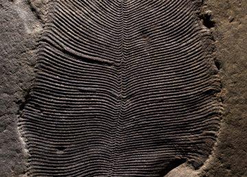 Grasa fosilizada revela que Dickinsonia es el animal más antiguo de la Tierra