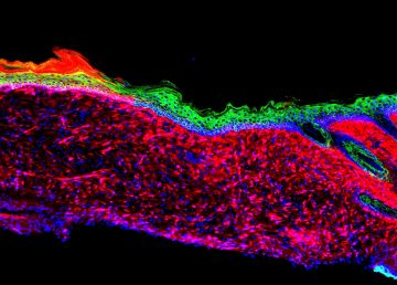 Investigación abre la puerta a regenerar órganos sin necesidad de trasplantes