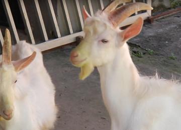 Cabras trasngénicas esperanza para la salud