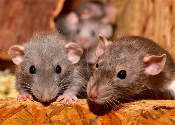 Primer caso humano de hepatitis E de los roedores en Hong Kong