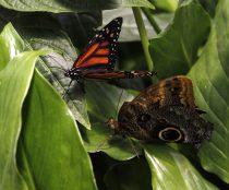 Inauguración del mes de las mariposas Monarca