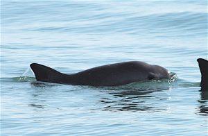 Nuevos avistamientos de vaquita marina reviven la esperanza de conservación