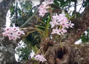 Las plantas epífitas