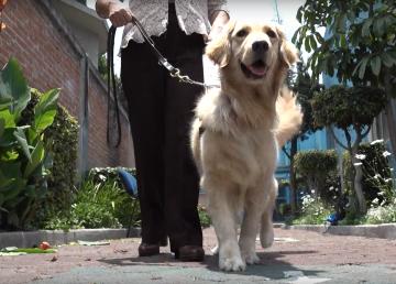 Labradores y Golden se titulan de lazarillos
