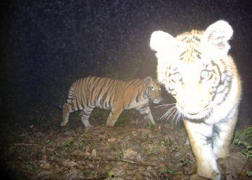 Cámaras escondidas para contabilizar a los tigres salvajes
