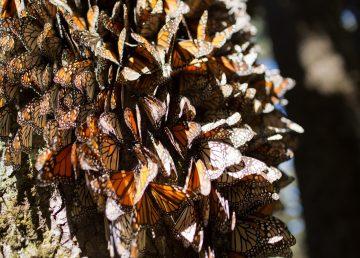 México recibe la mariposa monarca con retraso pero con buenas expectativas