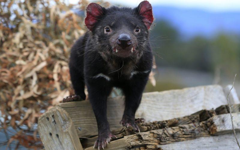Las hembras de demonio de Tasmania soportan mejor los tumores faciales