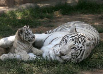 Exhiben en Perú tres nuevos tigres blancos de Bengala nacidos en cautiverio