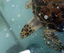 Todas las especies de tortugas tienen microplásticos dentro