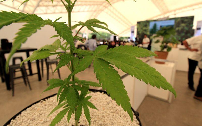 El Parlamento de Nueva Zelanda legaliza el uso medicinal de la marihuana