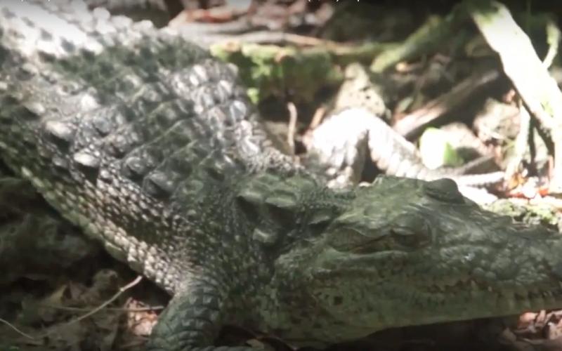 LA protección al cocodrilo de Catemaco
