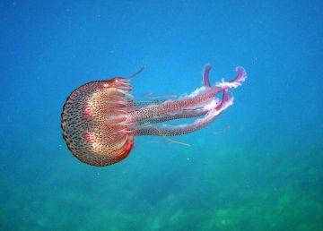 Medusas y anémonas con potencial para combatir el cáncer