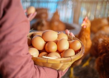 Huevos de gallina con proteínas humanas para producir medicamentos
