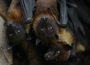 Descubiertas dos nuevas especies de murciélago en Europa y el Magreb