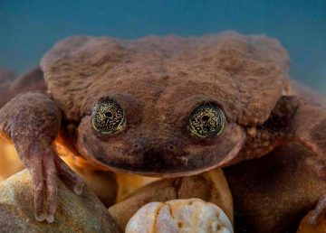 rana-acuatica-sehuencas-especie-peligro_0_23_1024_637