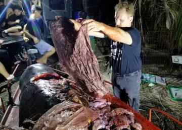 Una ballena con 40 kg de plástico en su estómago muere de hambre