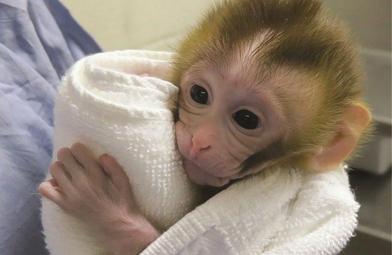 Nueva técnica con monos evitará la infertilidad de quienes tuvieron cáncer de niños