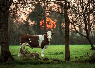 Holanda inventa un orinal para vacas que reducirá las emisiones de gas