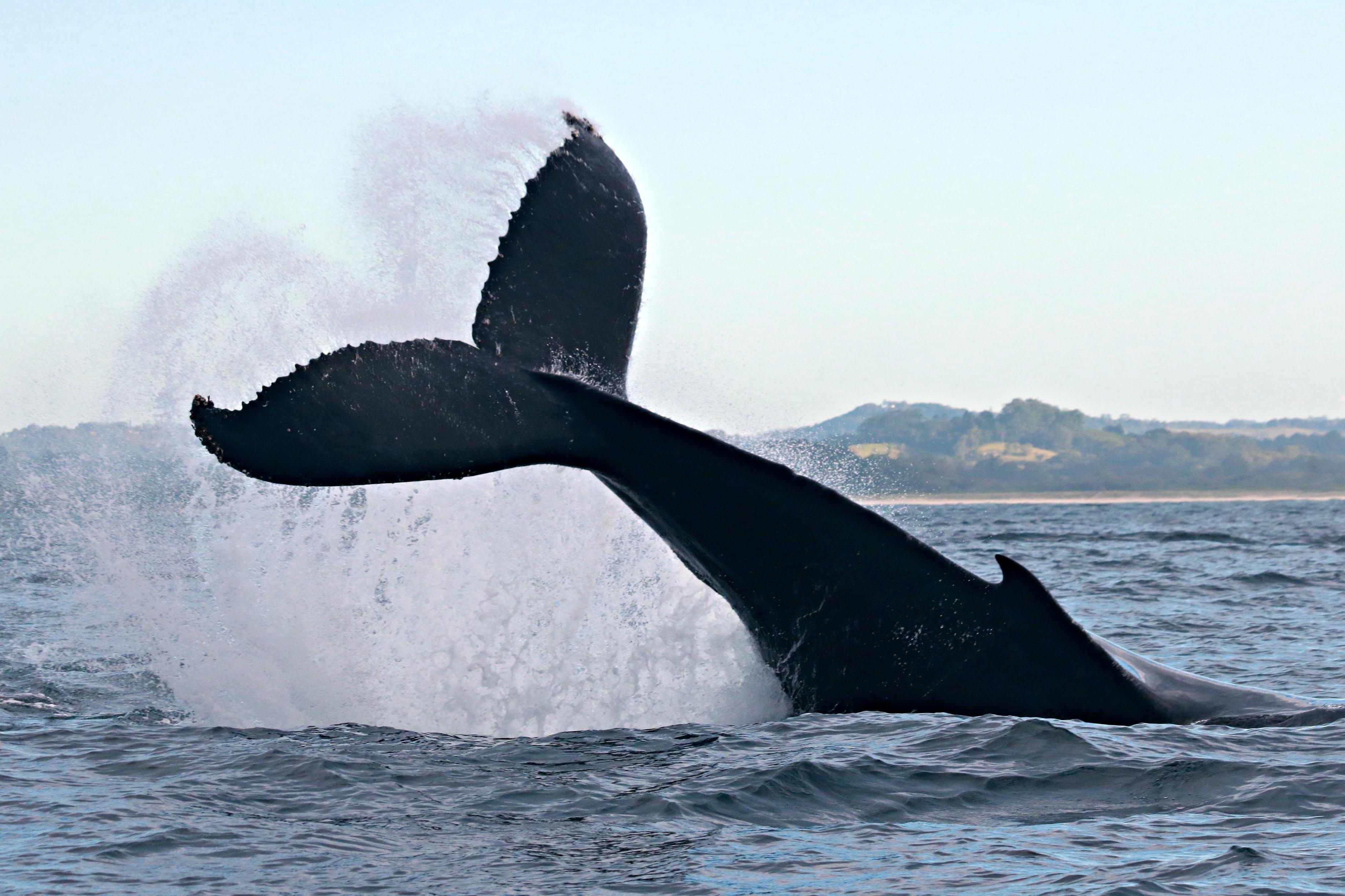 El cambio climático ya es un peligro para las ballenas jorobadas de la Patagonia