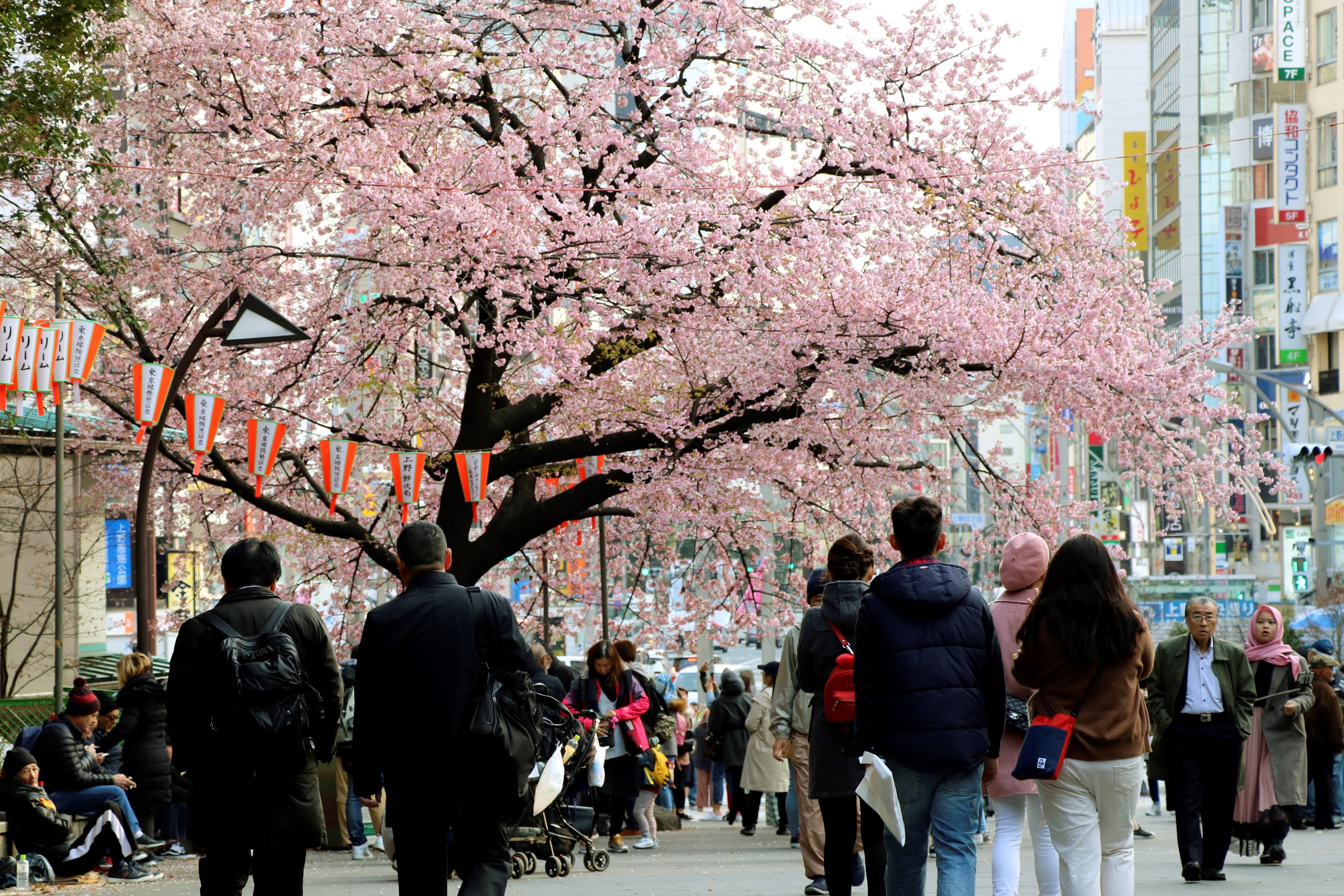 La predicción del florecimiento de los cerezos, un reto para los meteorólogos
