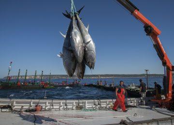Científicos determinan los hábitos de la población del atún rojo gigante
