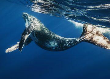 Las ballenas azules se guían con su memoria para conseguir alimento