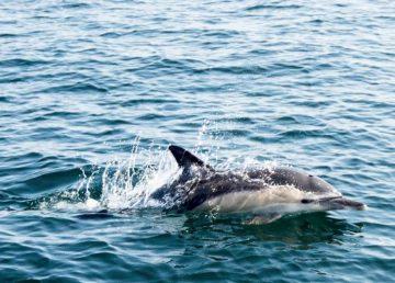 Delfín blanco