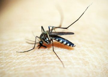 Científicos descubren cómo los mosquitos detectan el sudor humano