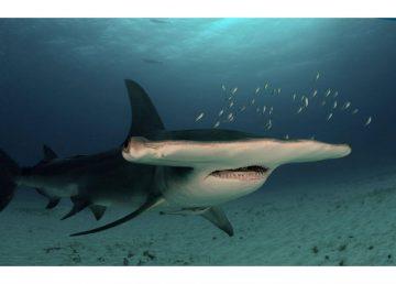 Hallan nuevo refugio natural de tiburones martillo en Galápagos