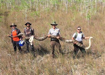 Investigadores capturan una pitón de 5,2 metros en Florida