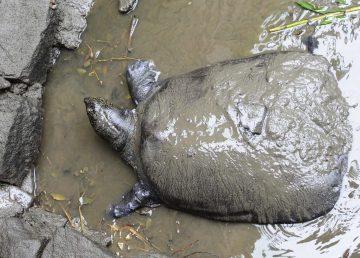 Tortuga del Yangtsé, al borde de la extinción tras una inseminación fallida