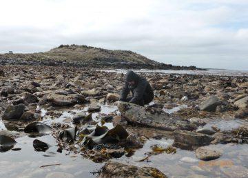 Descubren una nueva especie de lapa marina en la Patagonia chilena