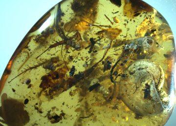 Encuentran amonite atrapado en gota ámbar de hace 99 millones de años