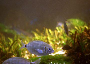 Pequeños peces que viven en los arrecifes son cruciales para la vida del coral
