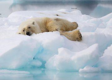 Científicos chinos diseñan aislante de calor inspirado en pelo de oso polar