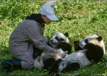 Dos pandas gemelos, una promesa para la supervivencia de la especie
